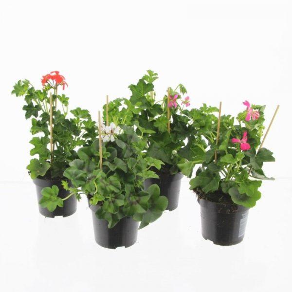 Pelargonium peltatum (Ivy Geranium) Mix