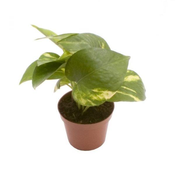 Epipremnum pinnatum 'Aureum' 6cm Pot