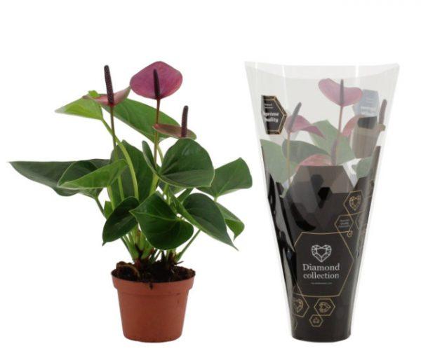 Anthurium 'Baby Purple'