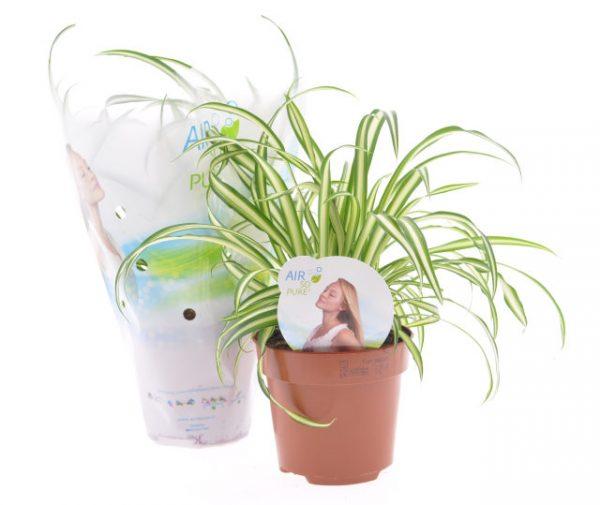 Chlorophytum comosum 'Atlantic' (Spider Plant) in 12cm Pot