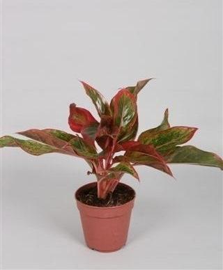 Aglaonema 'Crete' (Chinese Evergreen) in 12cm Pot