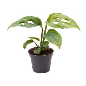 Monstera adansonii Mini in 6cm Pot