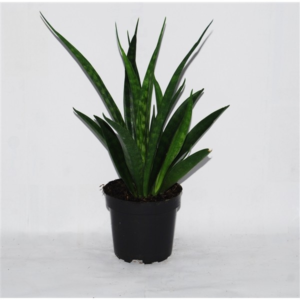 Sansevieria kirkii 'Friends' (Mother in Law's Tongue, Snake Plant)