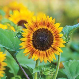 Helianthus annuus 'Tiger Eye' (Sunflower) in 12cm Pot