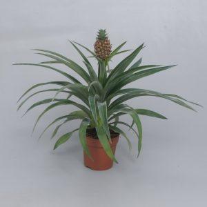 Ananas comosus 'Corona' (Ornamental Pineapple)