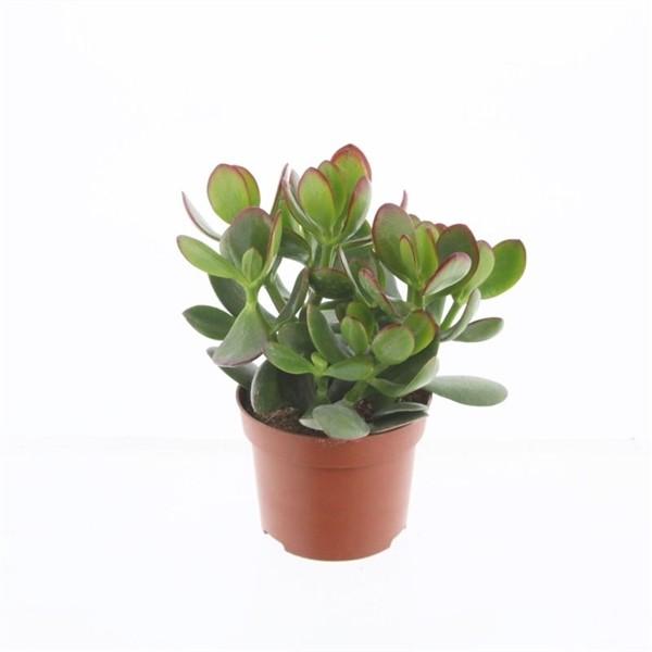Crassula ovata 'Sunset' (Jade Plant) in 12cm Pot