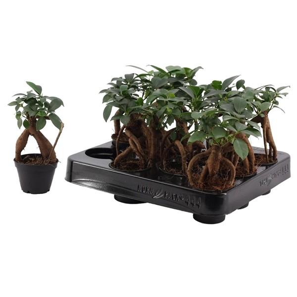 Ficus microcarpa 'Ginseng in 6cm Pot