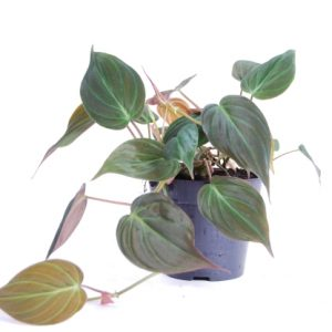 Philodendron scandens 'Micans' in 12cm Pot