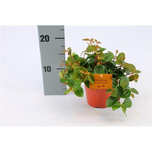 Peperomia angulata 'Rocca Scuro'