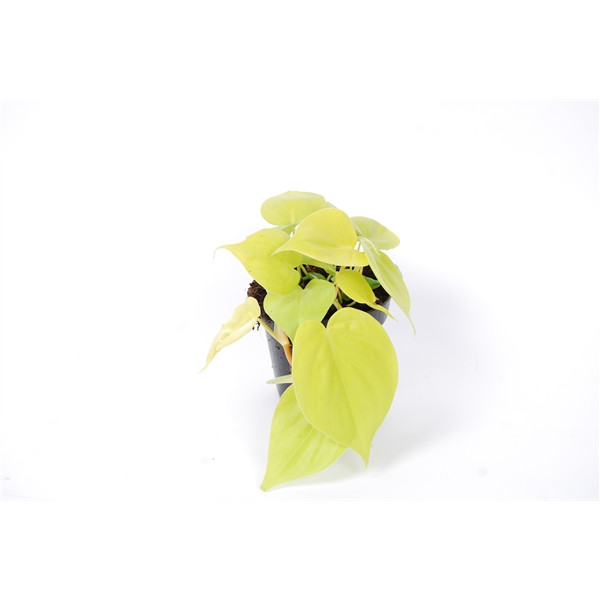 Philodendron Micans Lime in 12cm Pot