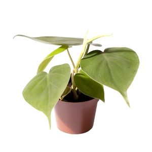 Philodendron scandens Mini 6cm Pot