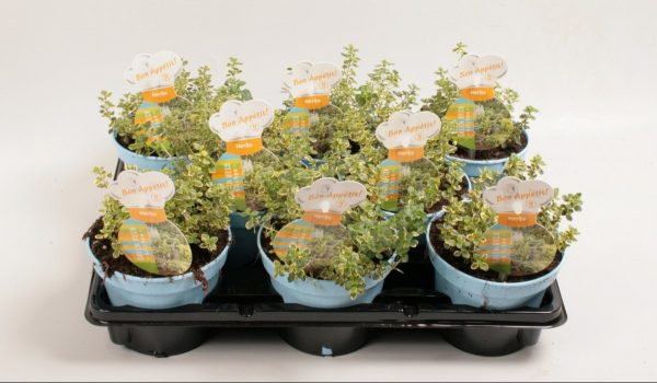 Thymus citriodorus (Lemon Thyme)