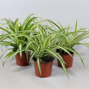 Chlorophytum (Spider Plant) Mix in 12cm Pot