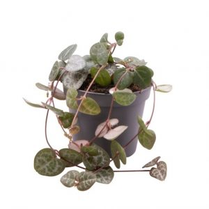 Ceropegia woodii (String of Hearts) in 6cm Pot