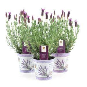 Lavandula stoechas 'Anouk' (French Lavender) in 12cm Zinc Pot