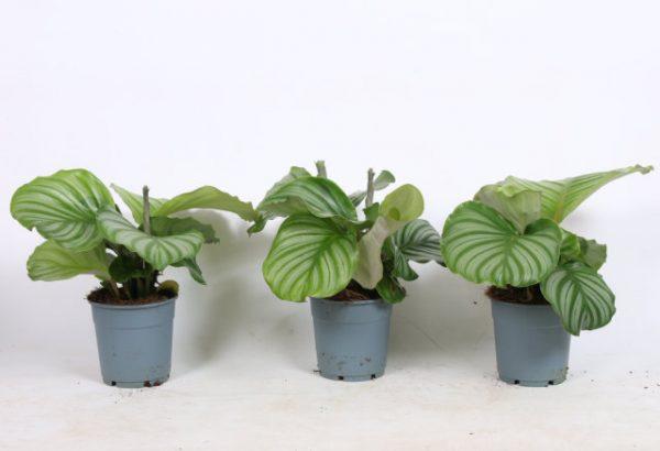 Calathea orbifolia in 12cm Pot