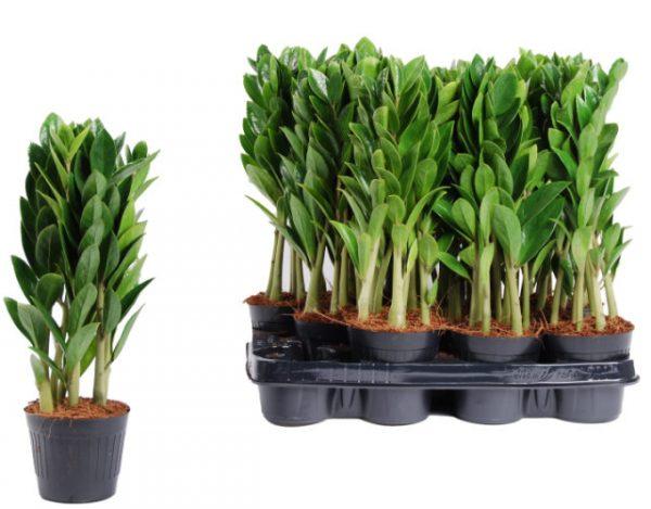 Zamioculcas zamiifolia 'Zamicro' (Miniature ZZ Plant)