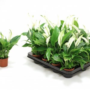 Spathiphyllum 'Pearl Cupido' (Peace Lily) in 7cm Pot