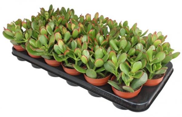 Crassula ovata 'Sunset' (Jade Plant) in 8.5cm Pot