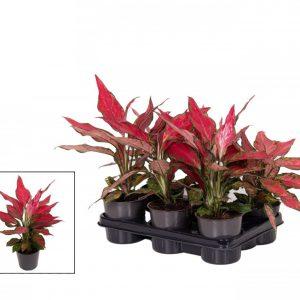 Aglaonema 'Cherry Baby'