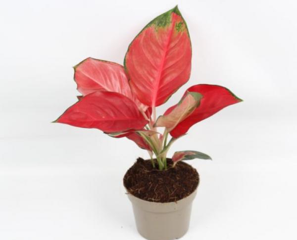 Aglaonema 'Red Star' (Chinese Evergreen)