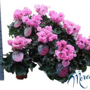 Cyclamen persicum 'Super Serie Merengue Pink'