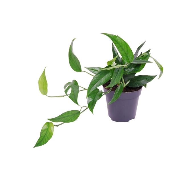 Epipremnum pinnatum (Scindapsus) 'Blue Form'