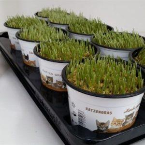 Cat Grass – Hordeum vulgare (Barley)
