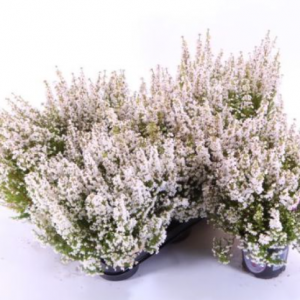 Erica gracilis white