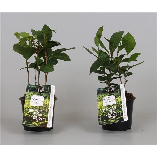 Camellia sinensis (Tea Plant)